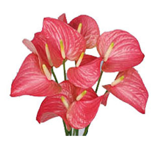 Deliver Wedding Flowers to India - Pink Anthurium